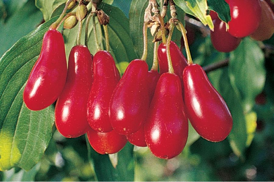 Полезные свойства кизила: природный носитель витамина С