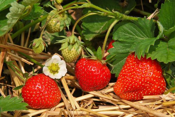 Клубника на соломенной перине дает щедрый урожай и не болеет