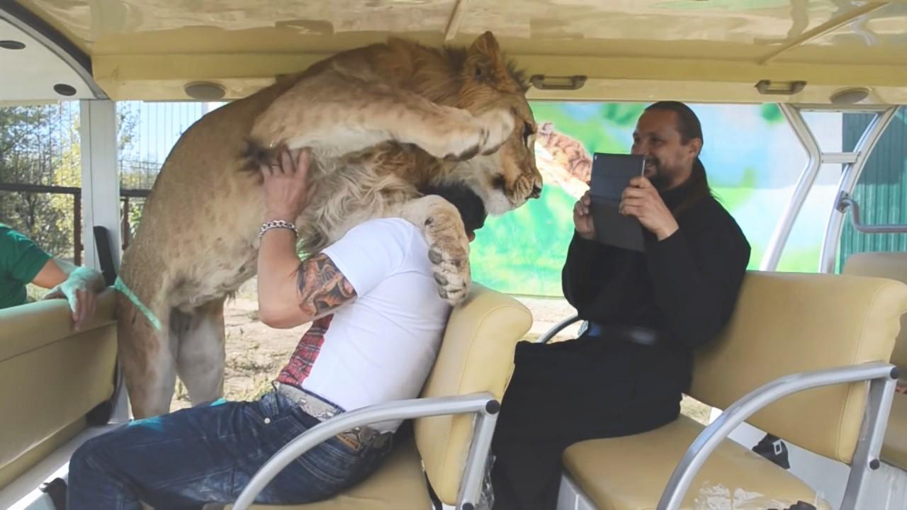Самые добрые львы в мире, ма…