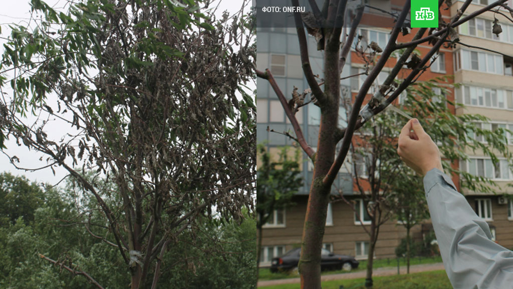В Петербурге коммунальщики «озеленили» высохшие деревья с помощью скотча