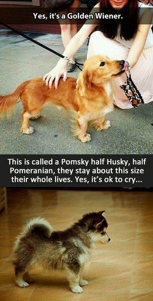 Новые дизайнерские породы: Golden wiener (такса и голден ретривер) и Pomsky (померанский шпиц и хаски)