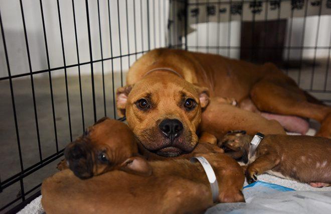 Материнский инстинкт: несмотря на потоки воды, измученная собака несла за собой маленьких щенков