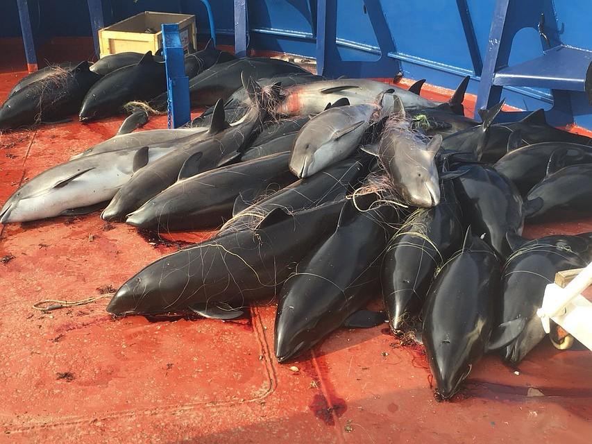 В сетях украинских браконьеров крымские пограничники нашли 46 мертвых дельфинов