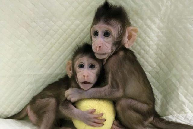 В Китае впервые клонировали обезьян по методике овечки Долли
