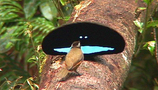 В Австралии нашли птиц с крыльями темнее ночи