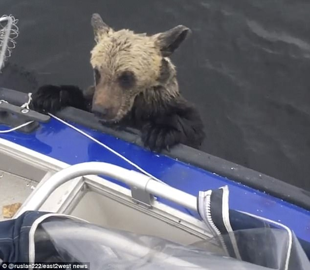 Карельские рыбаки спасли тонущего медвежонка