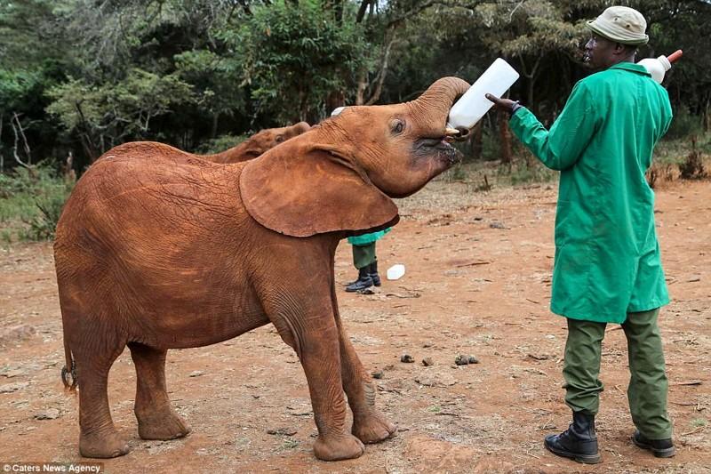 Смотритель вскармливает слониху, которая постепенно восстанавливается после пережитого детеныш, животные, история, кения, люди, мир, слониха, спасение