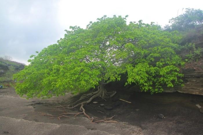 Входит в «Книгу рекордов Гиннеса» как самое опасное дерево в мире – ядовиты и смертельно опасны все части растения.