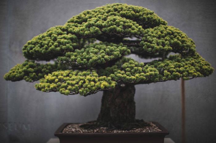Японская белая сосна. Выращивается с 1625 г. Фото: Stephen Voss.