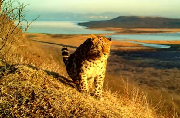 Фотоловушка сняла дальневосточного леопарда и амурского тигра во Владивостоке