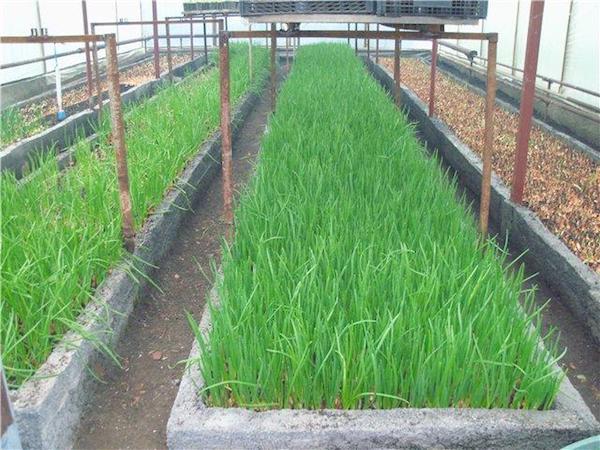 Секреты урожайности лука в теплице