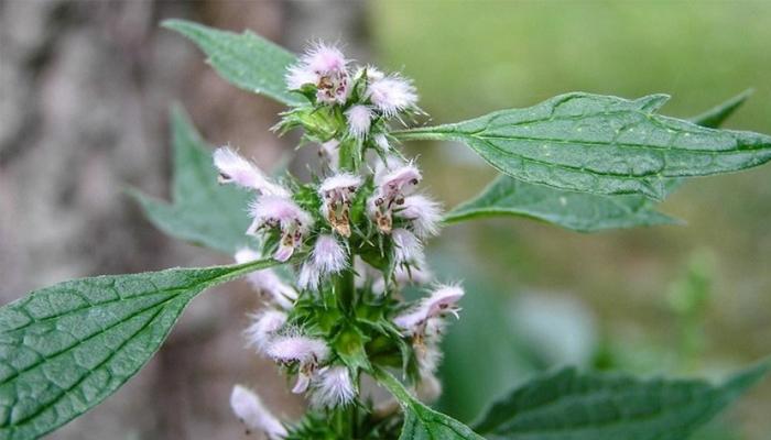 Пустырник — все лекарства в одном растении