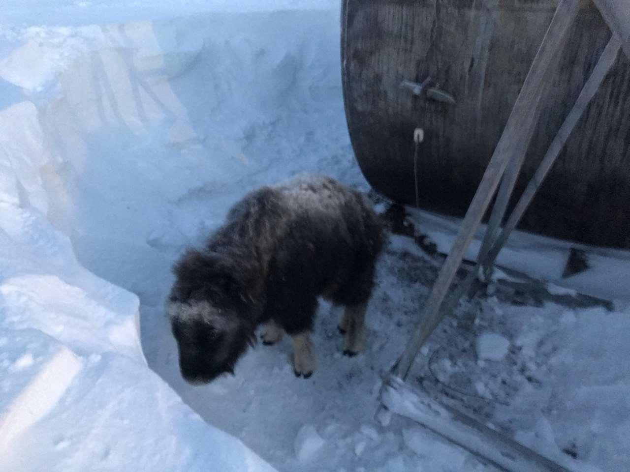 На Чукотке телёнок овцебыка заблудился в полярной ночи! Люди отвели его в тундру, но… вскоре их ждал сюрприз!