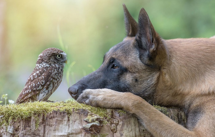 Закадычные друзья: 15 фотографий о дружбе бельгийской овчарки и совёнка