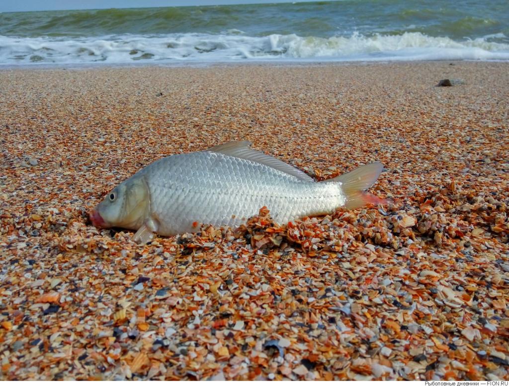 В Азовском море водятся речные рыбы, такие как судак, карась, щука