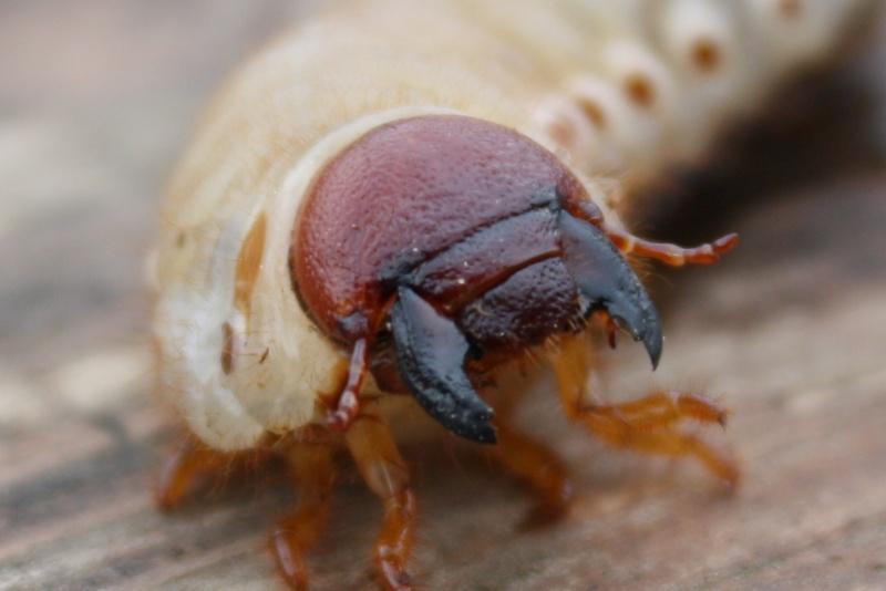 По запросу майский жук личинка