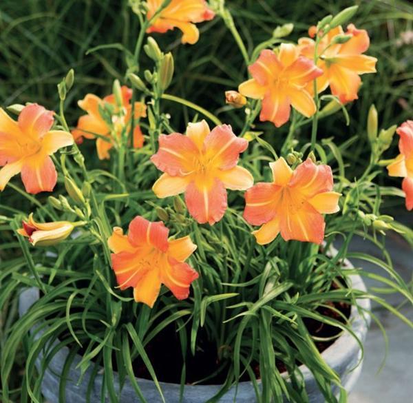 Лилейники серии Эвери Дейлили – компактные кусты с очаровательными цветами