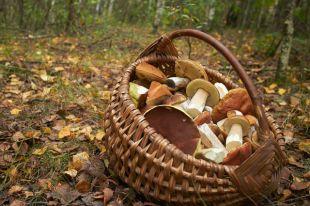 Боровик - чемпион по радиации? Как не отравиться осенними грибами
