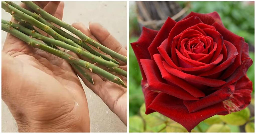 Вырастите без труда розы из черенка