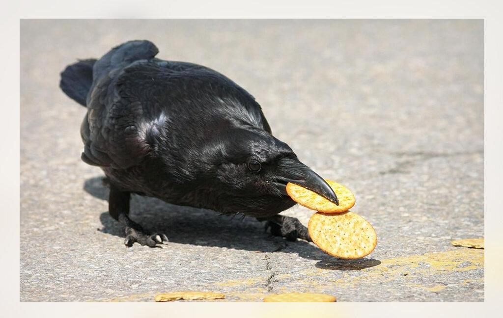 Подкормил ворону на улице печеньем. На следующий день она мне принесла ответный подарок