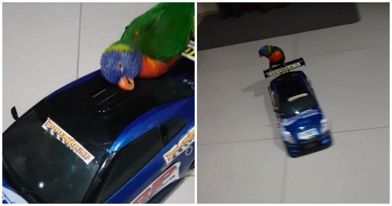 Попугай обожает кататься на радиоуправляемой машинке для дрифта