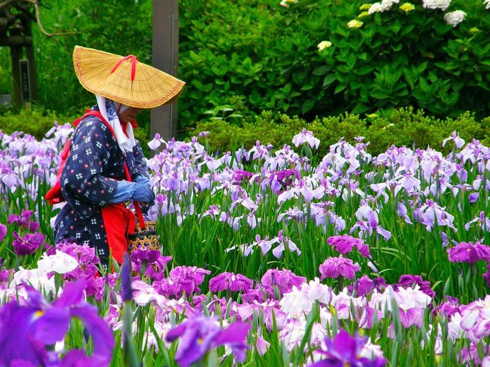 Водный сад ирисов в Японии