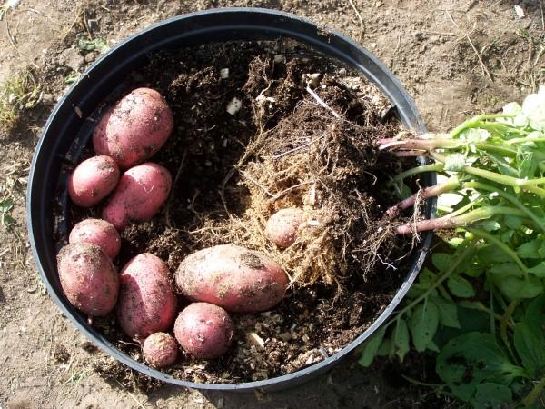 Картошка из контейнера
