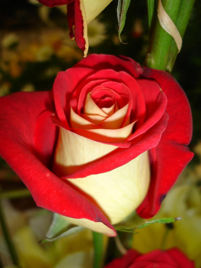 1461005853 9cd75d6288 b Роза сорта Osiria