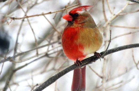 В Пенсильвании заметили двуполую птицу
