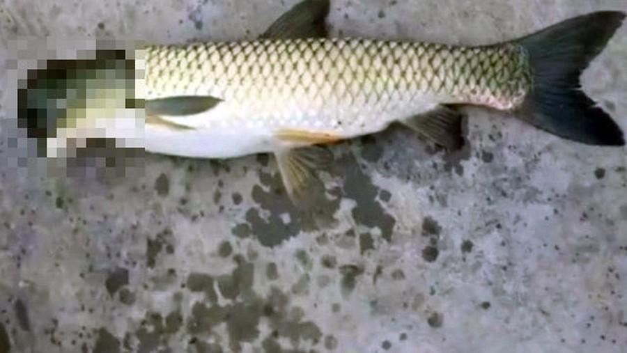 Рыба с головой голубя (4 фото)
