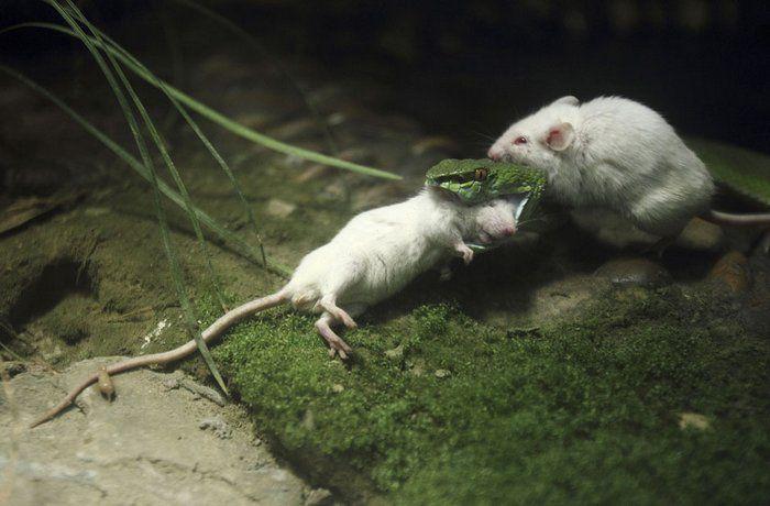 Как Мыш спасал жизнь друга