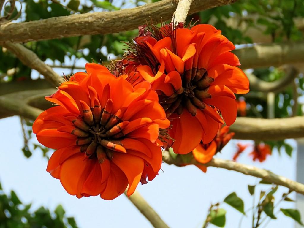 Цветы кораллового дерева