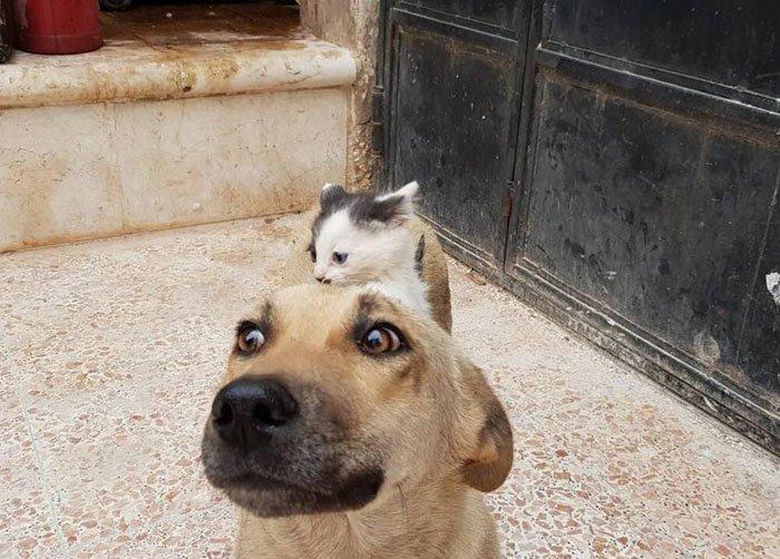 Собака, потерявшая щенков, стала мамой осиротевшему котенку