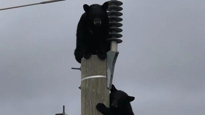 Черные медведи решили вздремнуть на линии электропередач
