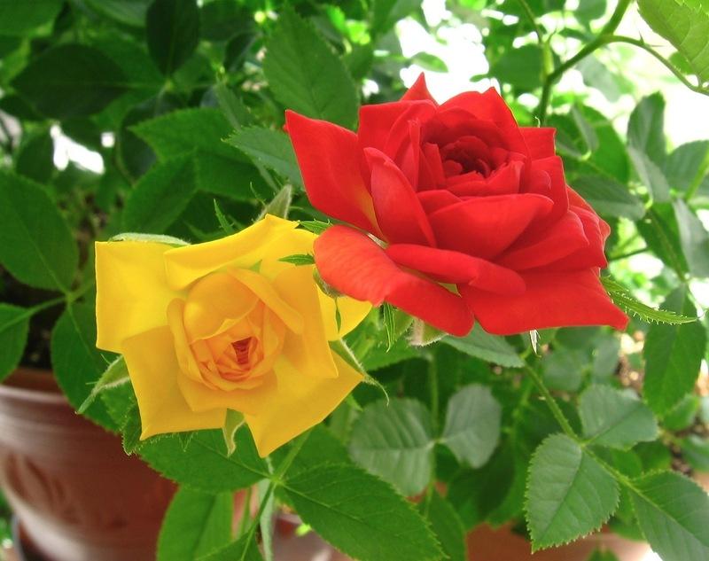 Все, что нужно знать о комнатных розах