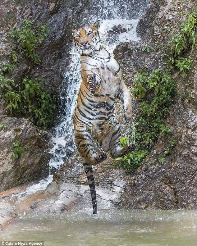 В Таиланде обнаружен Тигра из сказки о Винни-Пухе! Фотограф снял уникальные кадры хищника-шалуна