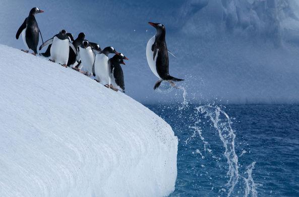 Пингвин спасся с отколовшейся льдины благодаря прыжку веры