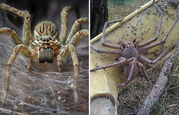 Популяция пауков способна уничтожить население Австралии за год