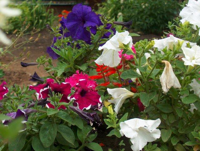 Удаление отцветших цветков у петуний