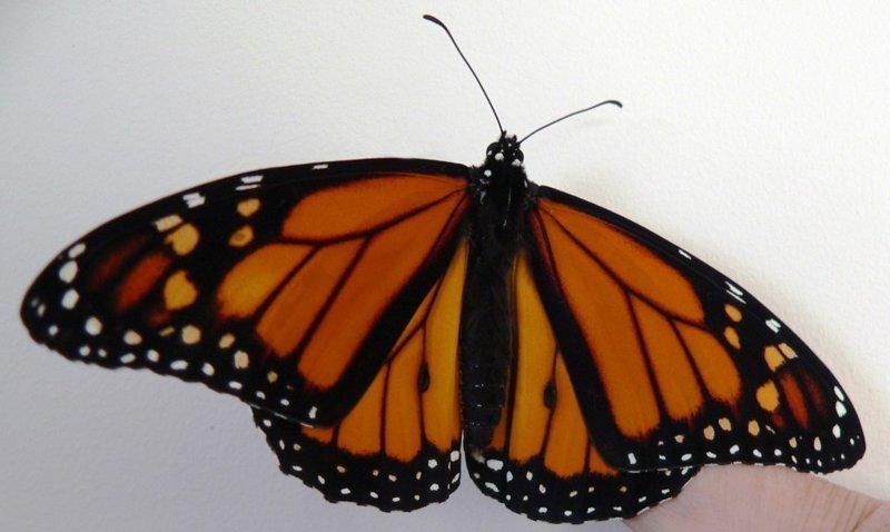 Трансплантация крыла бабочки Монарха