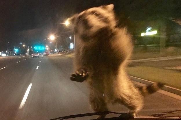 Невероятные кадры: обезумевший енот на полицейской машине!