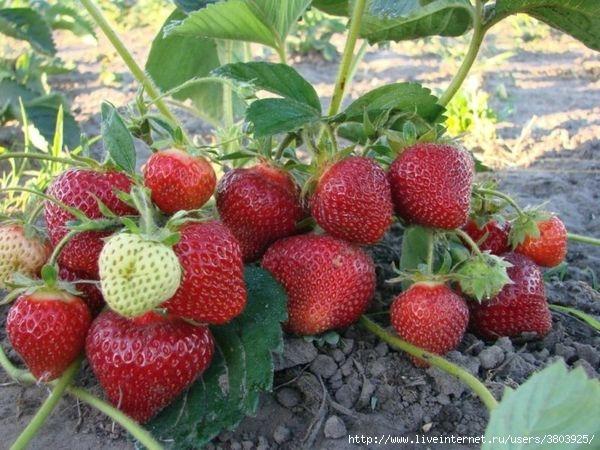Марганцовка, дрожжи, йод - ягод урожай растёт!