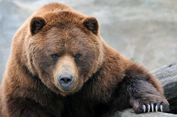 Русские медведи лишают сна британских дипломатов