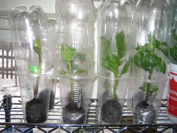 Размножаем многолетние георгины черенками