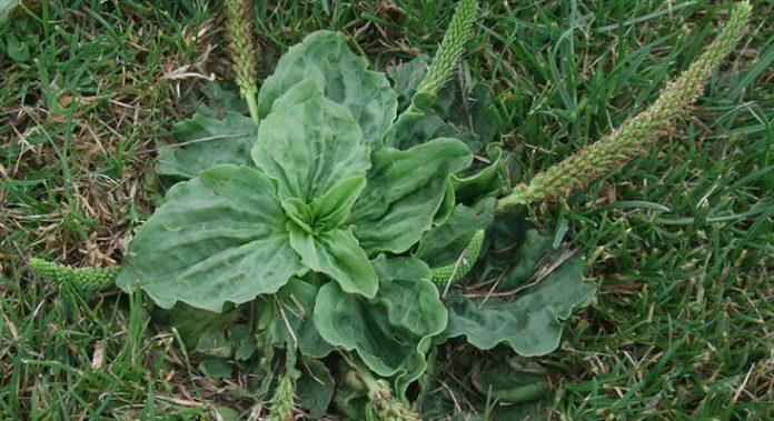 Этот небольшой сорняк является одним из самых полезных на планете лекарств