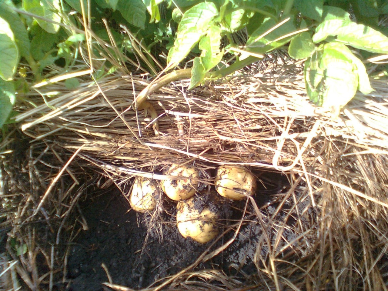 Технология выращивания картофеля под соломой и сеном 76