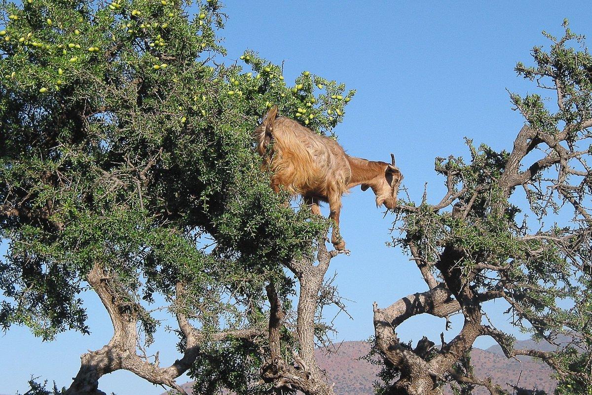 Козы на деревьях – обычное дело в Марокко