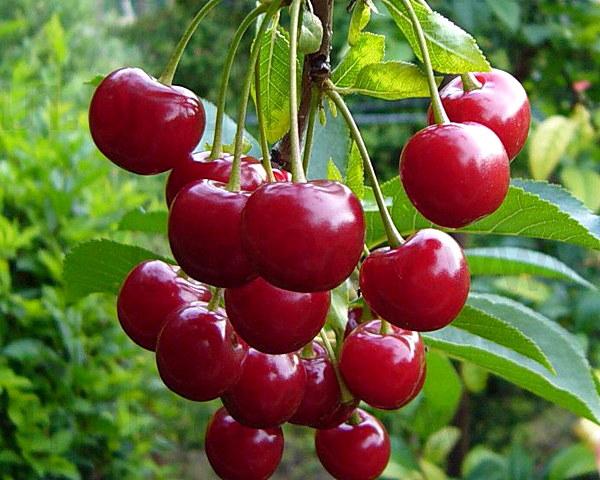 Как добиться высокой урожайности вишни