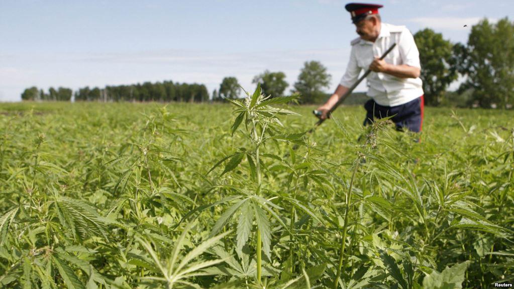 Глава Нацбанка Кыргызстана предложил легализовать марихуану для привлечения туристов