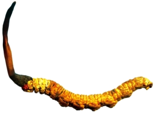 Уникальное растение от импотенции ярсагумба